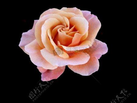 黑色背景粉色花朵