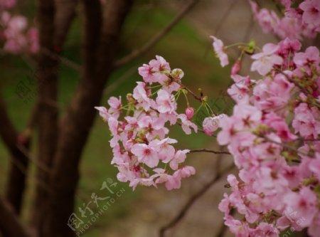 春天繁盛的樱花树