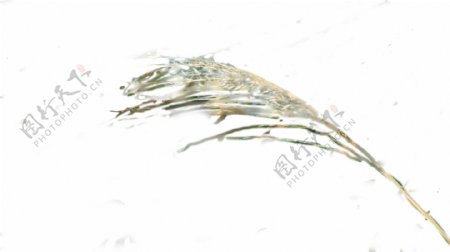 草本植物毛茸茸