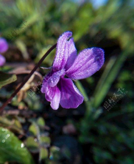 特写花卉紫色小野花开花