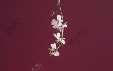 梅花樱花枝头绽放砖红背景素材
