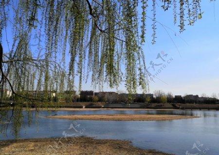 春天蓝天柳树河边风景