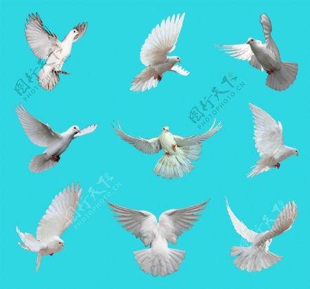 白鸽各种动态分层免抠PSD素材