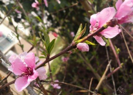 桃树上的一支桃花