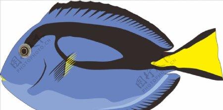 蓝唐鱼海洋鱼
