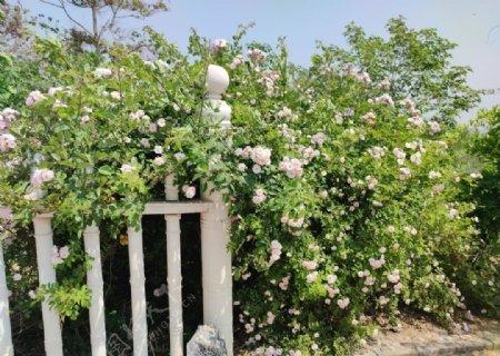 藤蔓花月季花