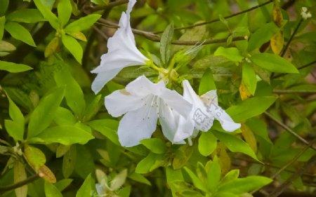 花草景色白色花杜鹃花
