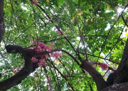 杨桃树小花