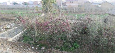 苹果树林田野风景图片