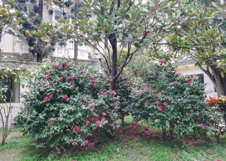 山茶花花园图片