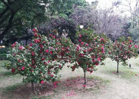 山茶花园图片