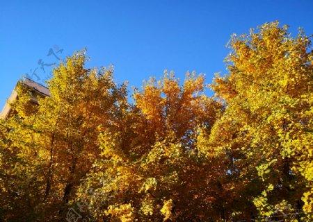 秋天蓝天下的黄色银杏叶图片