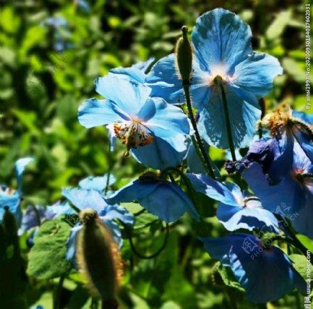 蓝色丁香花图片