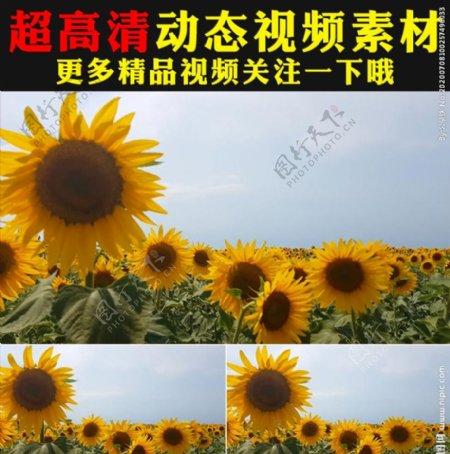 向日葵太阳花花海植物实拍视频