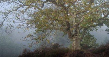 森林大树云雾风景背景图片