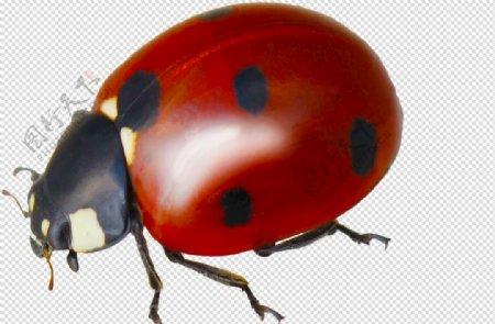 七星瓢虫虫图片