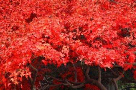 红枫树林枫叶秋季枫树图片