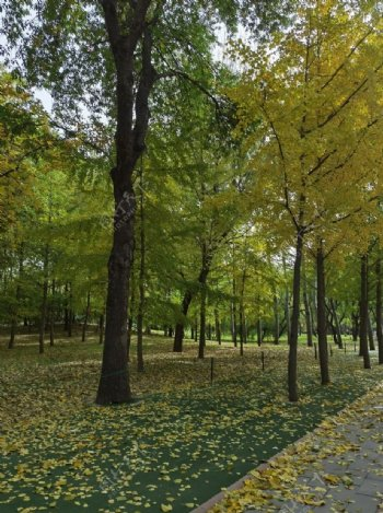 秋天枫树林树林图片