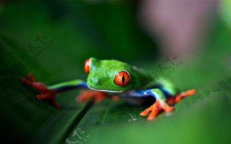 绿色青蛙动物绿叶背景图片