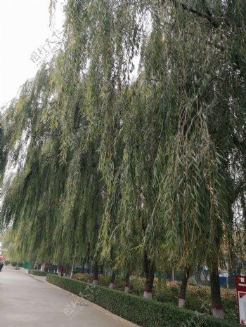 绿色植物柳树垂柳图片