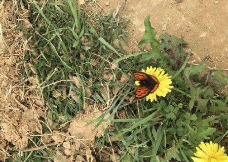 蝴蝶落在蒲公英上蝶恋花图片
