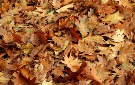 黄色枫叶图片