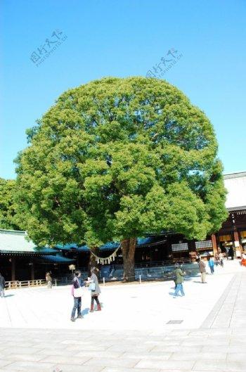 热本河口湖大树图片