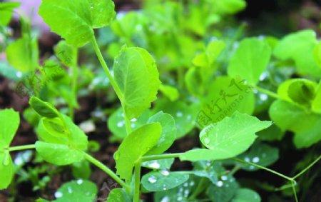 豌豆苗图片