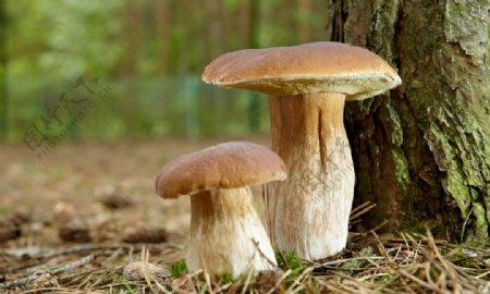 松树下的小蘑菇图片