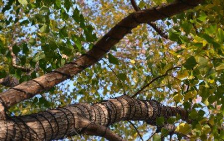 仰视参天大树图片
