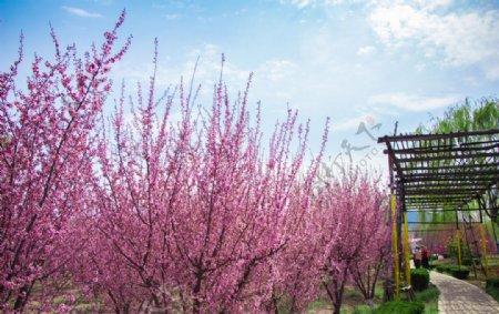 春天蓝天白云户外海棠树公园小路图片