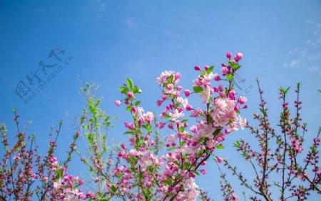 春天户外蓝天白云粉色海棠花图片