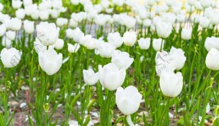 白色郁金香拍摄素材图片