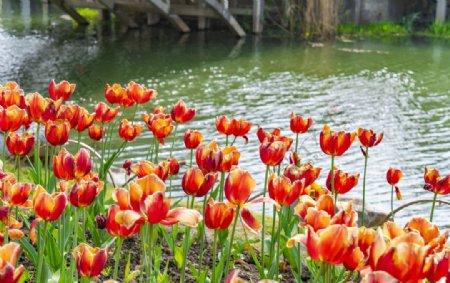 湖边的郁金香图片