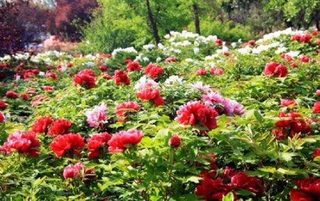 正红色牡丹花海素材图片