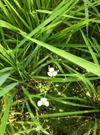 稻田里的小花图片