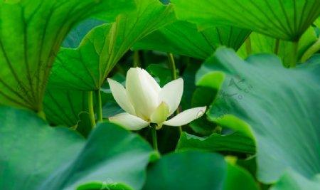 清新白色莲花拍摄素材图片