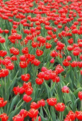 鲜花摄影大片郁金香花丛图片