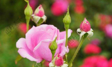 户外玫瑰花特写图片