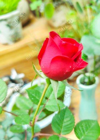 红色玫瑰花特写图片