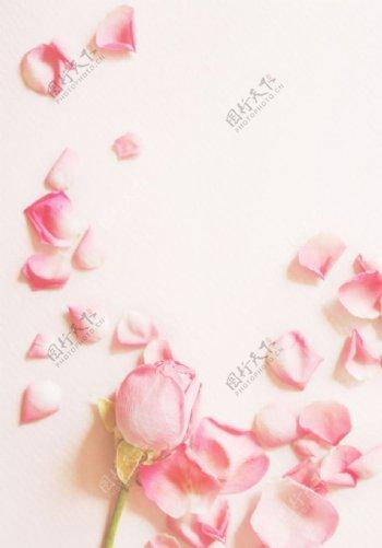 唯美粉色玫瑰花瓣图片