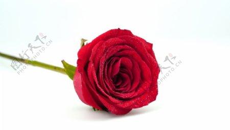 玫瑰花特写大图图片