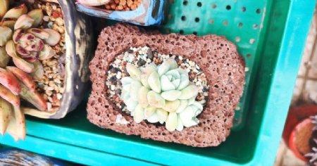 多肉植物多肉植物盆栽绿图片