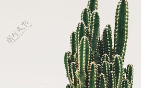 仙人掌图片