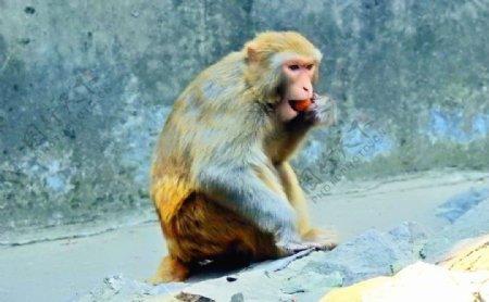 猴子摄影图片