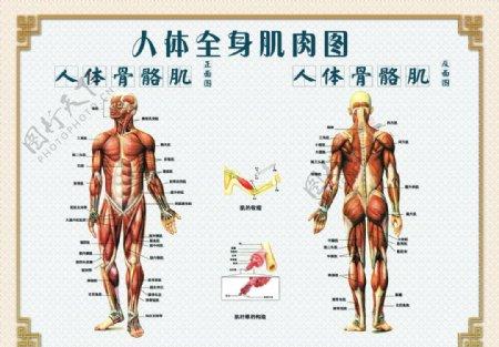 人体骨骼肌图片