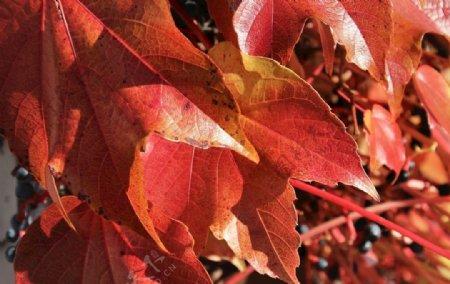 红色树叶图片