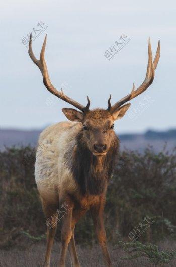 麋鹿照片图片