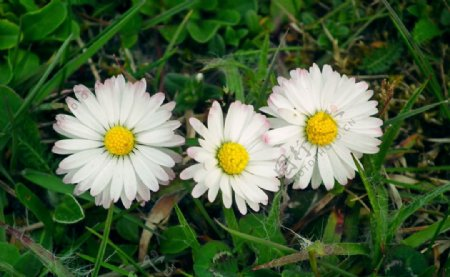 白色的雏菊图片