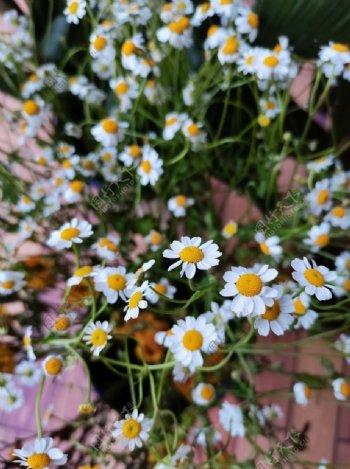 菊花小碎花图片
